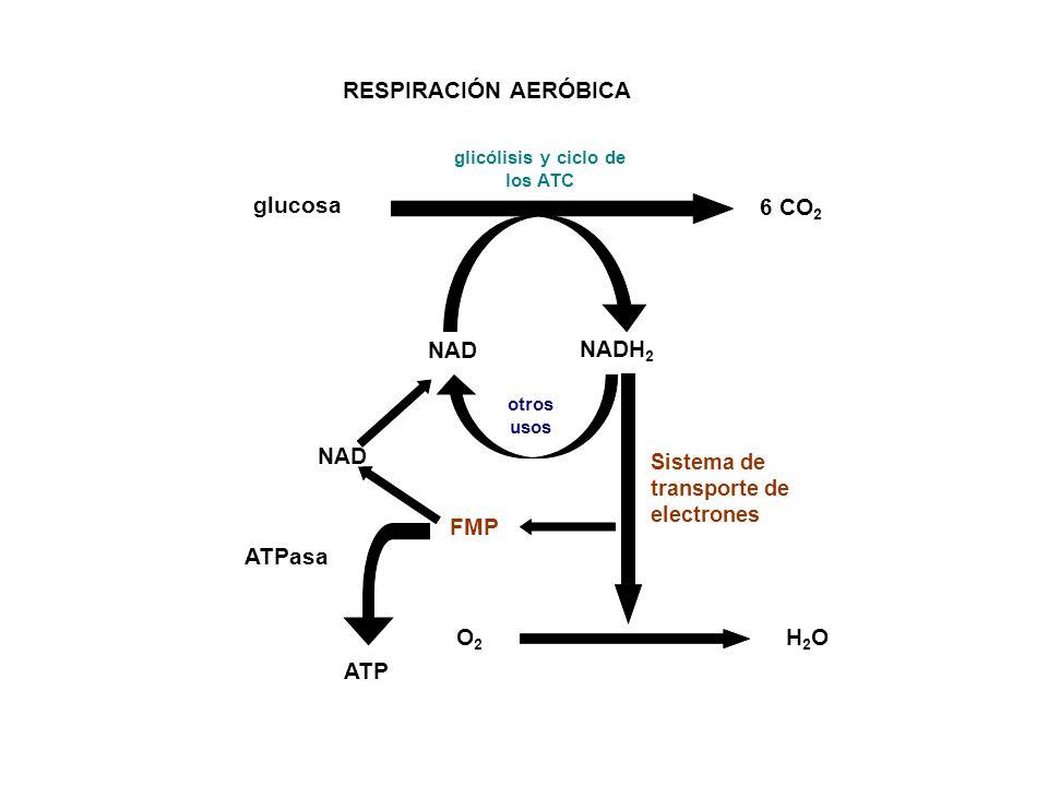 glicólisis y ciclo de los ATC