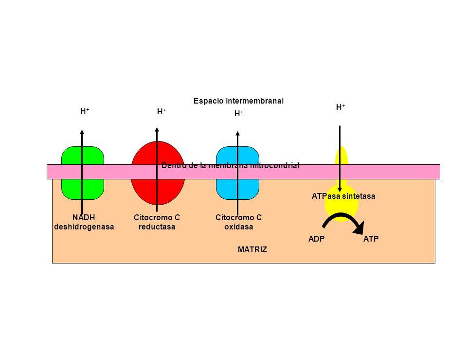 Espacio intermembranal Dentro de la membrana mitrocondrial
