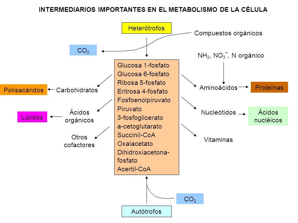 INTERMEDIARIOS IMPORTANTES EN EL METABOLISMO DE LA CÉLULA