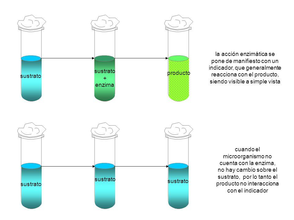 sustrato + enzima. producto.