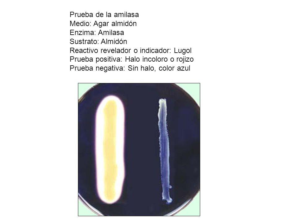 Prueba de la amilasa Medio: Agar almidón. Enzima: Amilasa. Sustrato: Almidón. Reactivo revelador o indicador: Lugol.