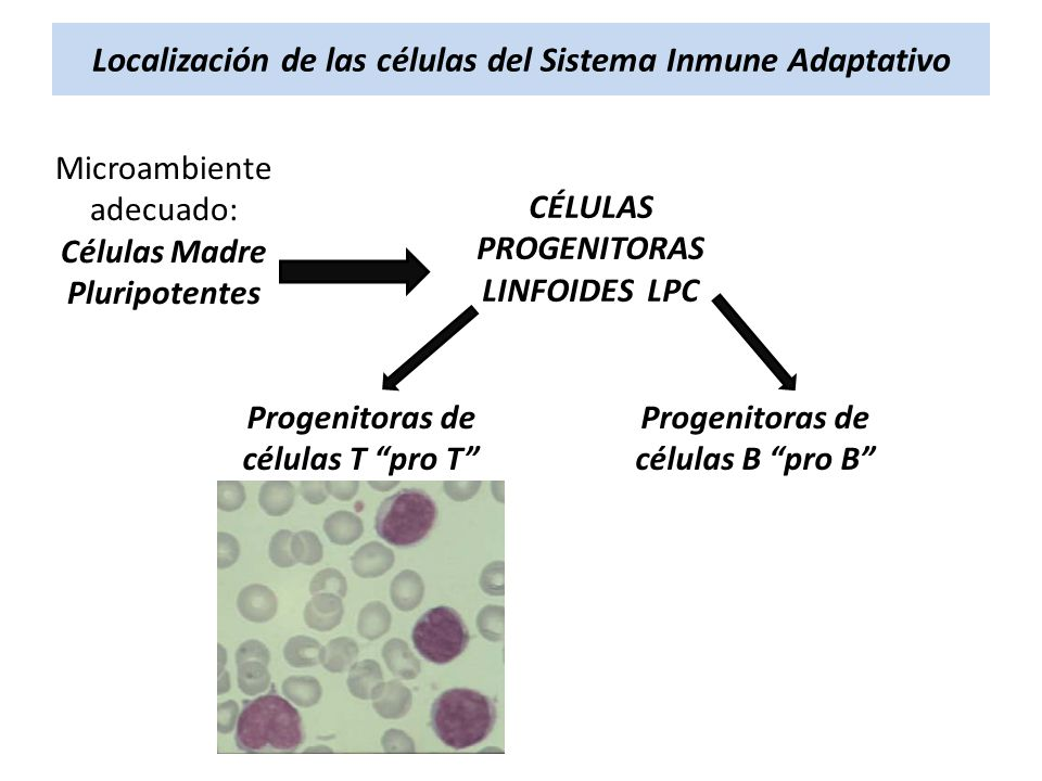 Localización de las células del Sistema Inmune Adaptativo