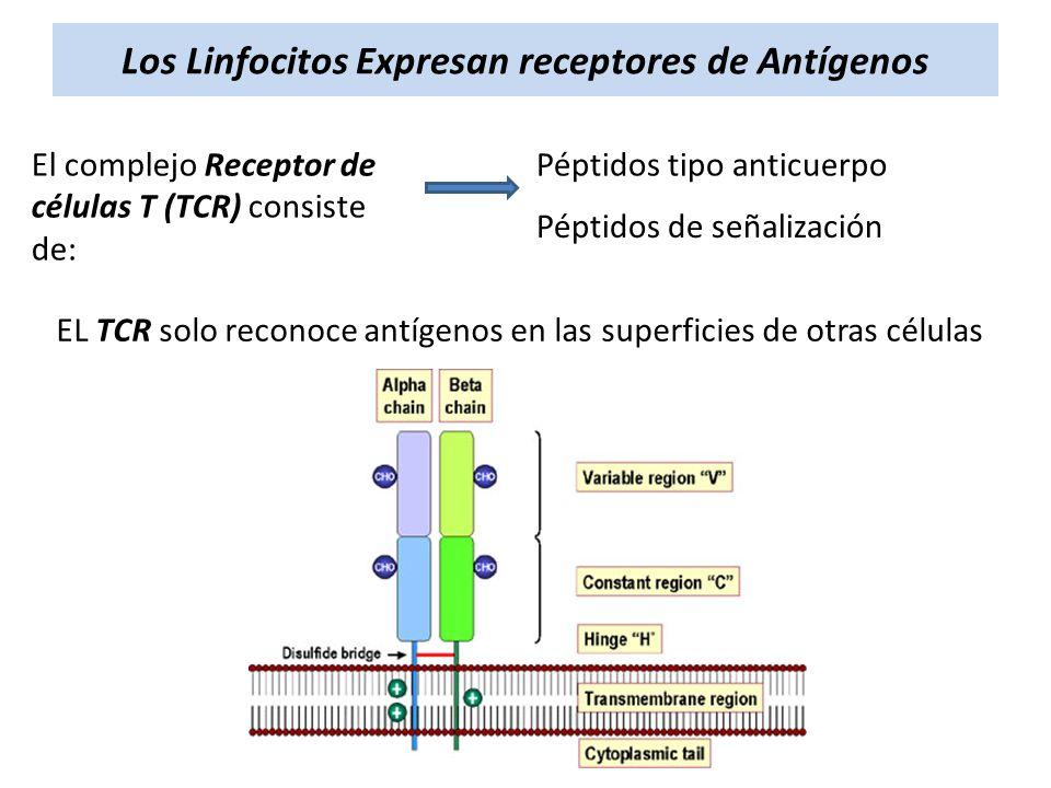 Los Linfocitos Expresan receptores de Antígenos