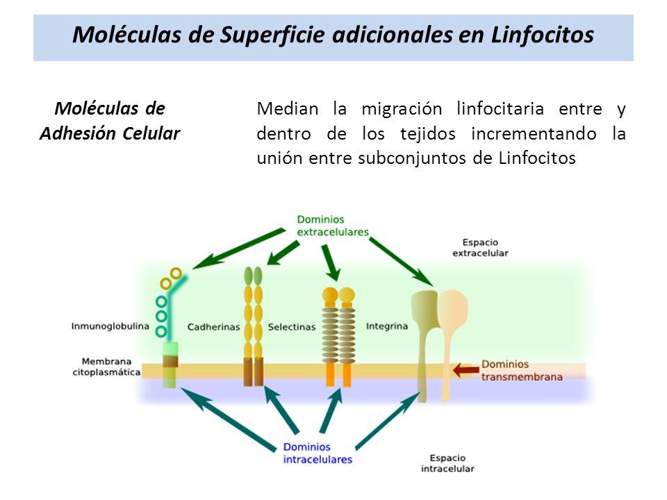Moléculas de Superficie adicionales en Linfocitos