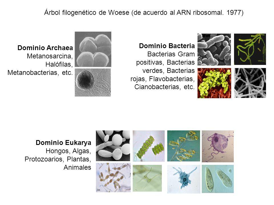 Árbol filogenético de Woese (de acuerdo al ARN ribosomal. 1977)