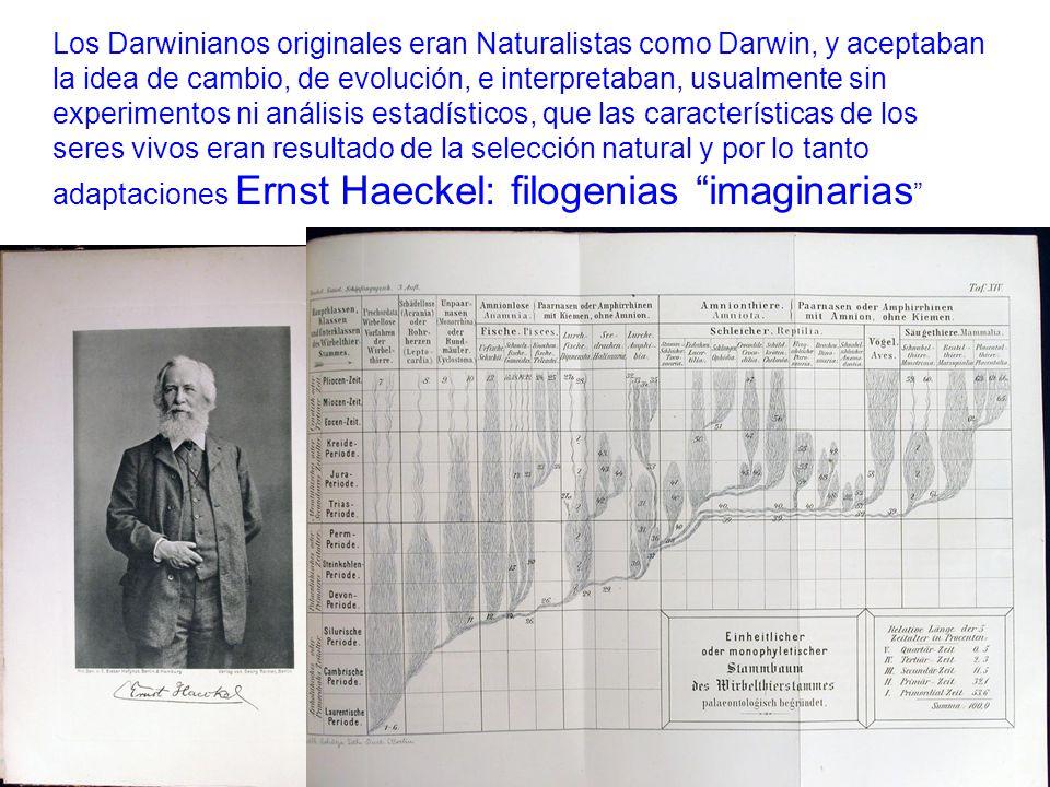 Los Darwinianos originales eran Naturalistas como Darwin, y aceptaban la idea de cambio, de evolución, e interpretaban, usualmente sin experimentos ni análisis estadísticos, que las características de los seres vivos eran resultado de la selección natural y por lo tanto adaptaciones Ernst Haeckel: filogenias imaginarias