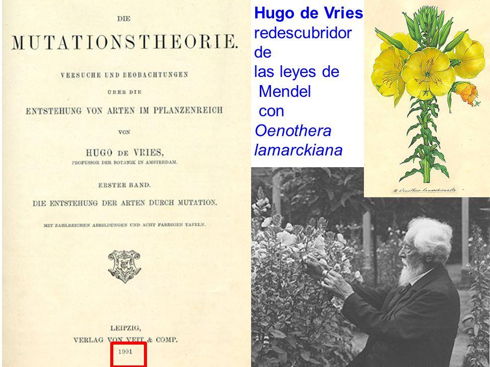 Hugo de Vries redescubridor de las leyes de Mendel con Oenothera lamarckiana .