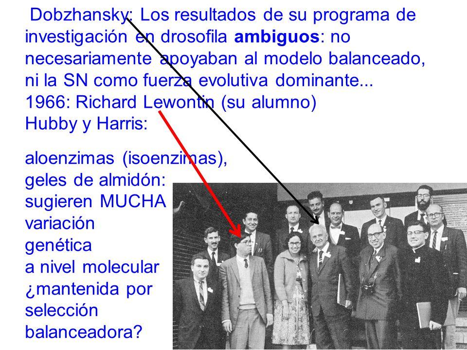 Dobzhansky: Los resultados de su programa de investigación en drosofila ambiguos: no necesariamente apoyaban al modelo balanceado, ni la SN como fuerza evolutiva dominante...