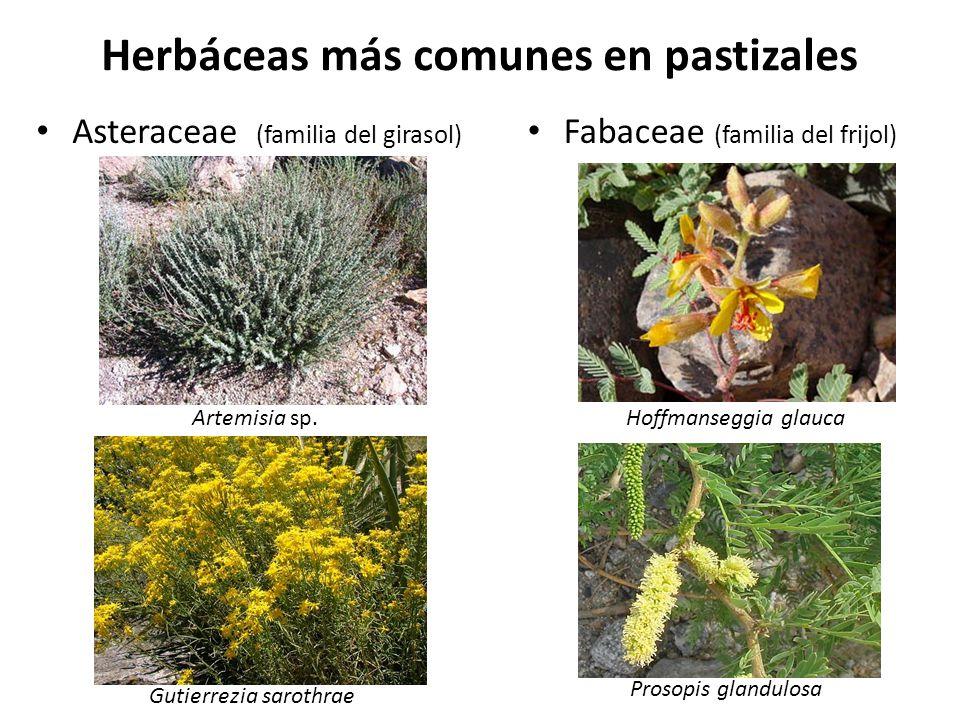 Herbáceas más comunes en pastizales