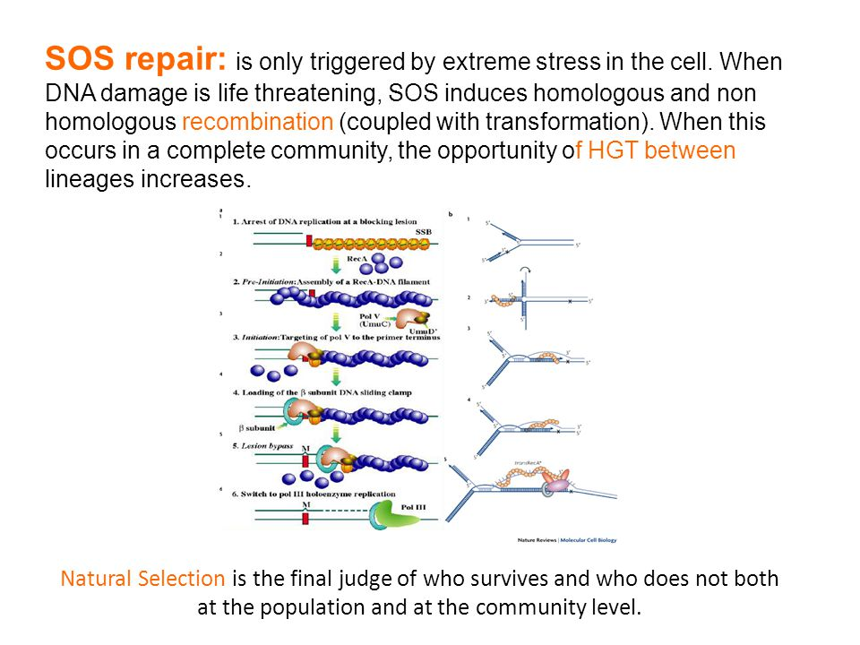 SOS repair: is only triggered by extreme stress in the cell