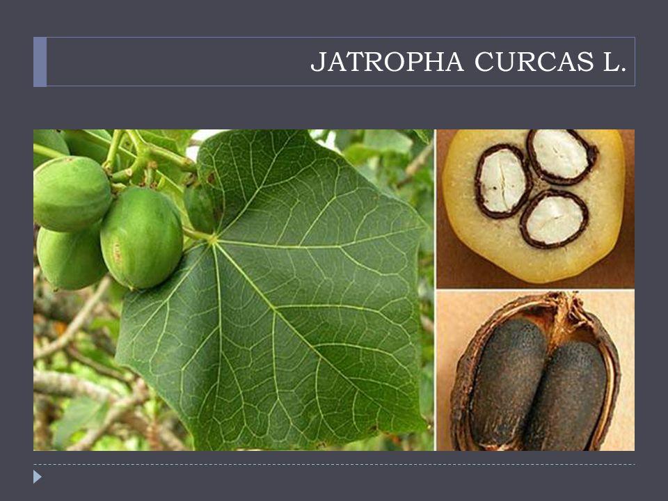 JATROPHA CURCAS L.