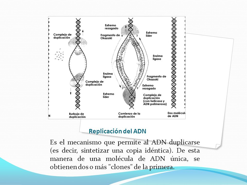 Replicación del ADN