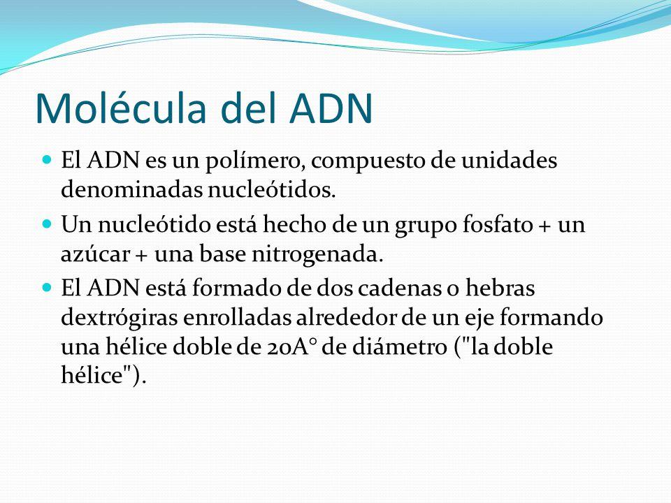 Molécula del ADN El ADN es un polímero, compuesto de unidades denominadas nucleótidos.