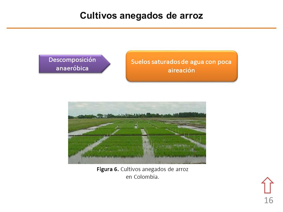 Cultivos anegados de arroz