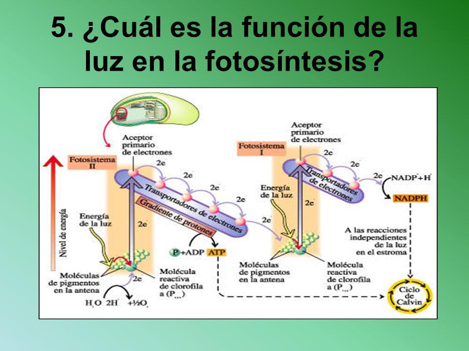 5. ¿Cuál es la función de la luz en la fotosíntesis