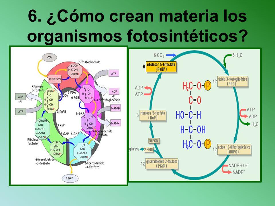 6. ¿Cómo crean materia los organismos fotosintéticos