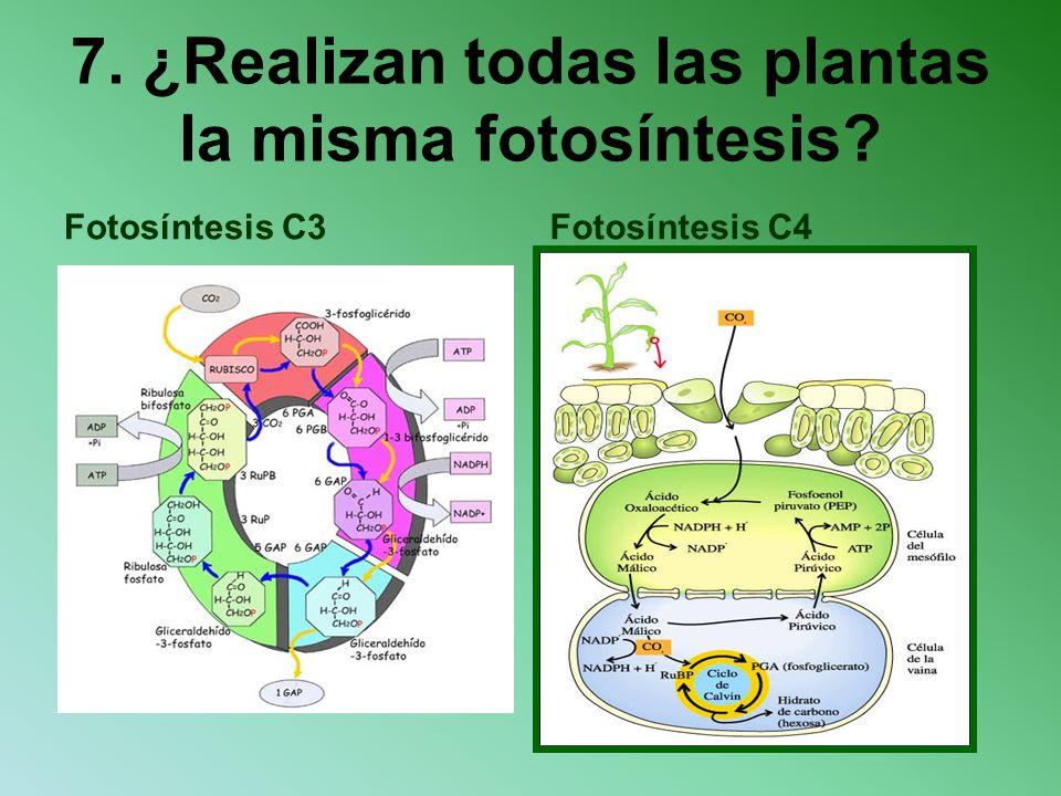 7. ¿Realizan todas las plantas la misma fotosíntesis