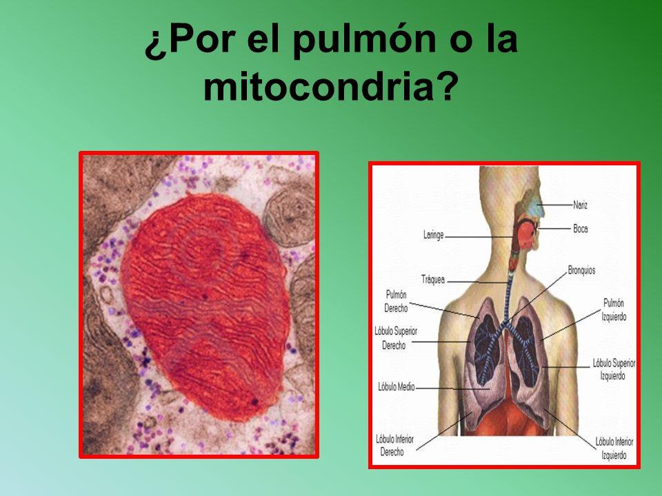 ¿Por el pulmón o la mitocondria
