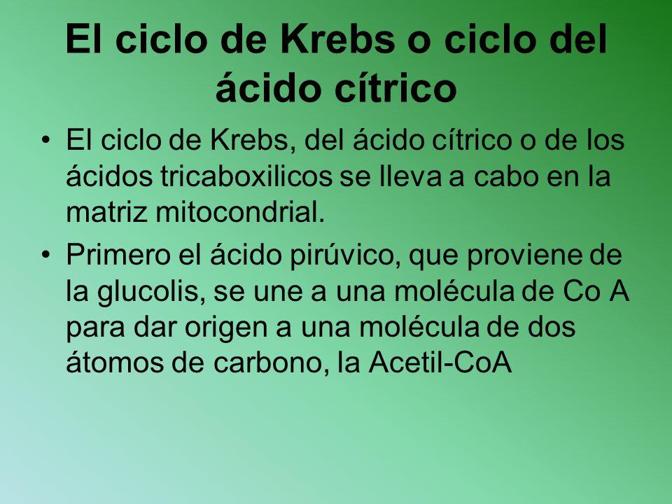 El ciclo de Krebs o ciclo del ácido cítrico