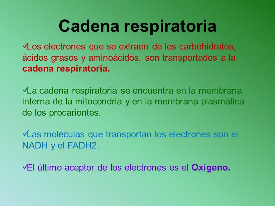 Cadena respiratoria Los electrones que se extraen de los carbohidratos, ácidos grasos y aminoácidos, son transportados a la cadena respiratoria.