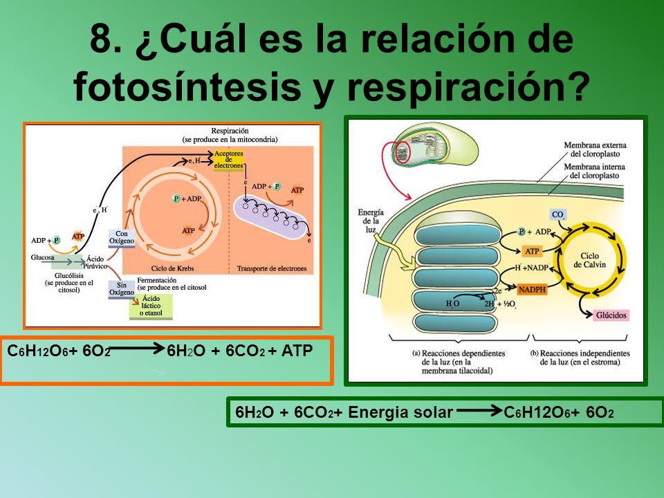 8. ¿Cuál es la relación de fotosíntesis y respiración