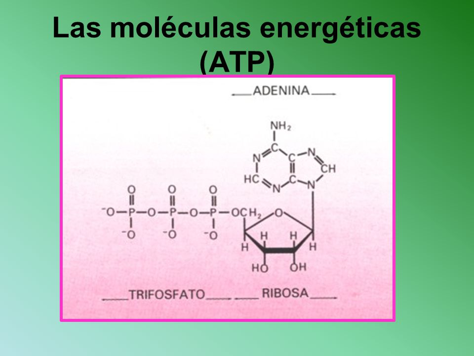 Las moléculas energéticas (ATP)