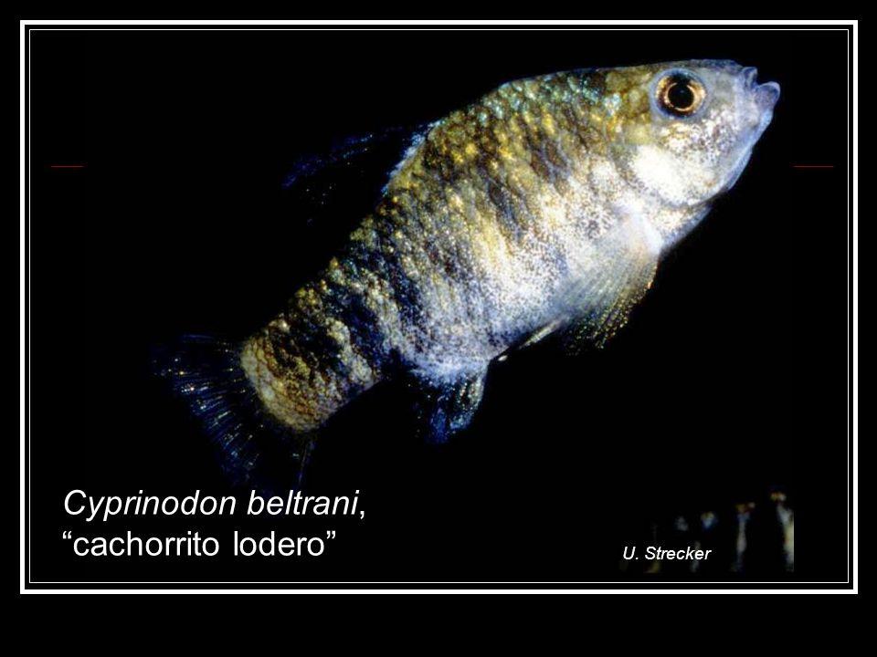 Cyprinodon beltrani, cachorrito lodero