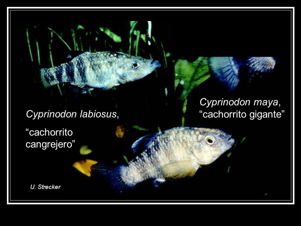Cyprinodon maya, cachorrito gigante Cyprinodon labiosus,