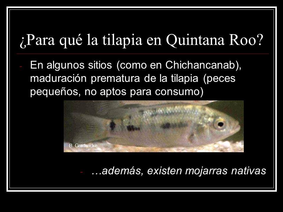 ¿Para qué la tilapia en Quintana Roo