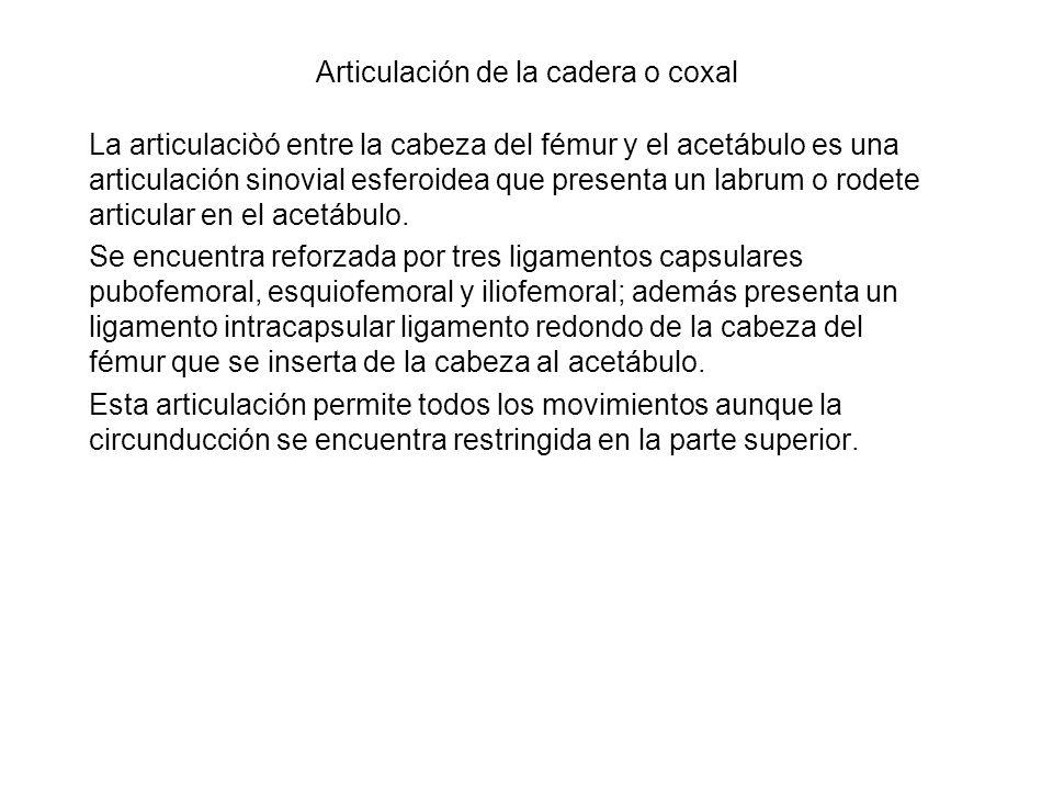 Articulación de la cadera o coxal