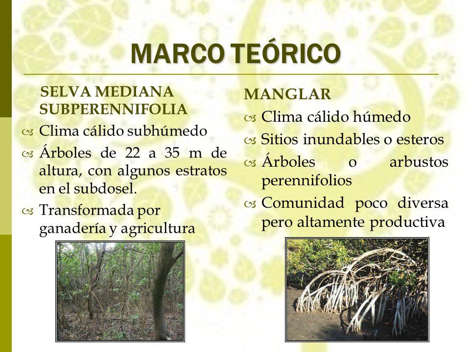 MARCO TEÓRICO MANGLAR Clima cálido húmedo Sitios inundables o esteros