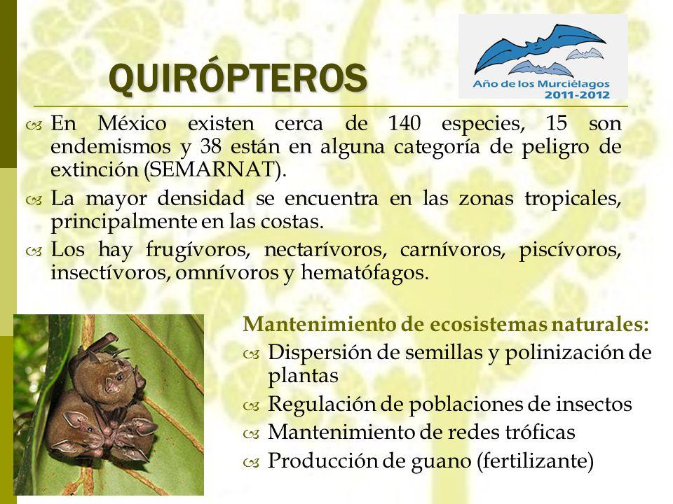QUIRÓPTEROS En México existen cerca de 140 especies, 15 son endemismos y 38 están en alguna categoría de peligro de extinción (SEMARNAT).