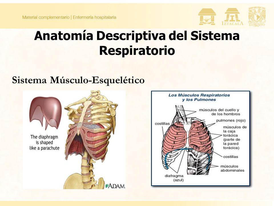 Anatomía Descriptiva del Sistema Respiratorio
