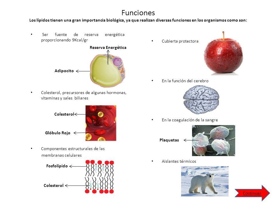 Funciones Los lípidos tienen una gran importancia biológica, ya que realizan diversas funciones en los organismos como son: