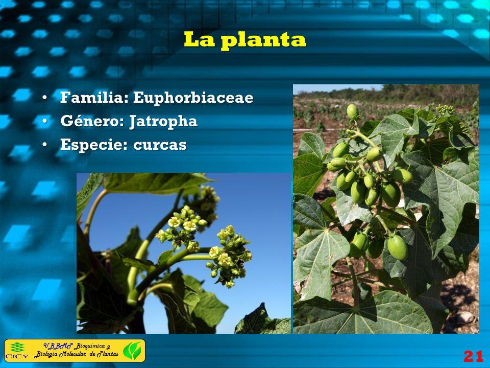 La planta Familia: Euphorbiaceae Género: Jatropha Especie: curcas