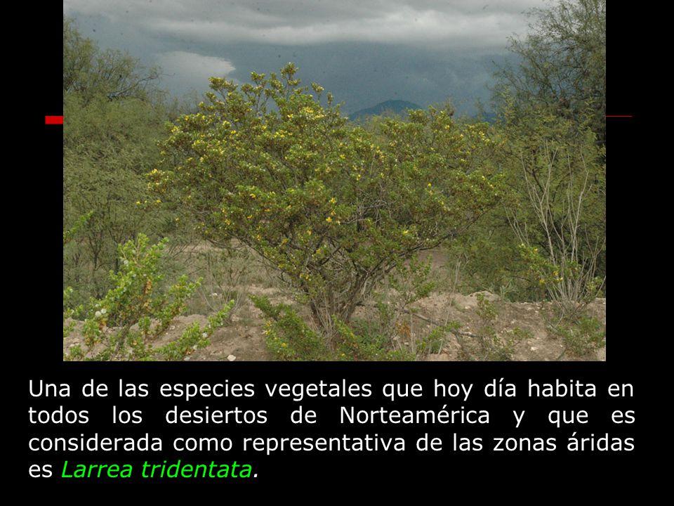 Una de las especies vegetales que hoy día habita en todos los desiertos de Norteamérica y que es considerada como representativa de las zonas áridas es Larrea tridentata.
