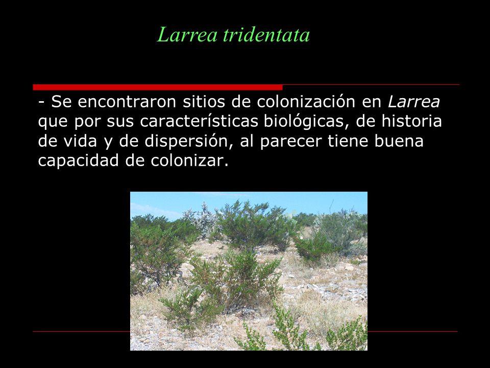 Larrea tridentata