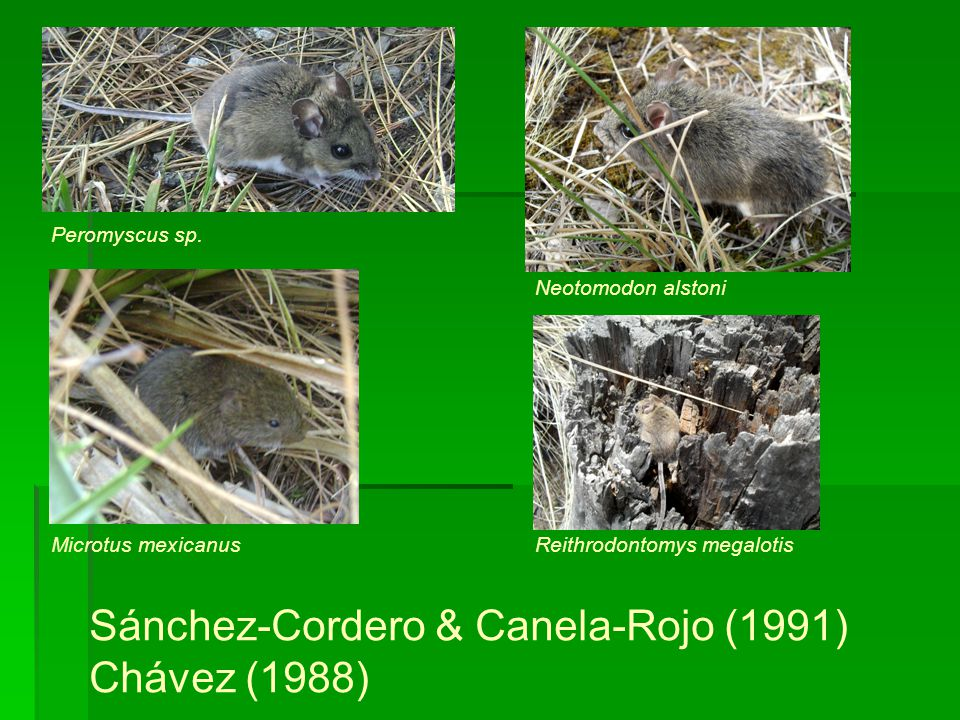 Sánchez-Cordero & Canela-Rojo (1991) Chávez (1988)