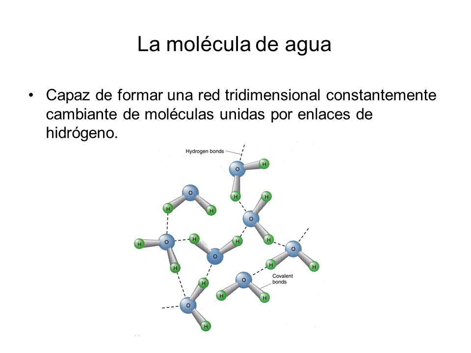 La molécula de agua Capaz de formar una red tridimensional constantemente cambiante de moléculas unidas por enlaces de hidrógeno.
