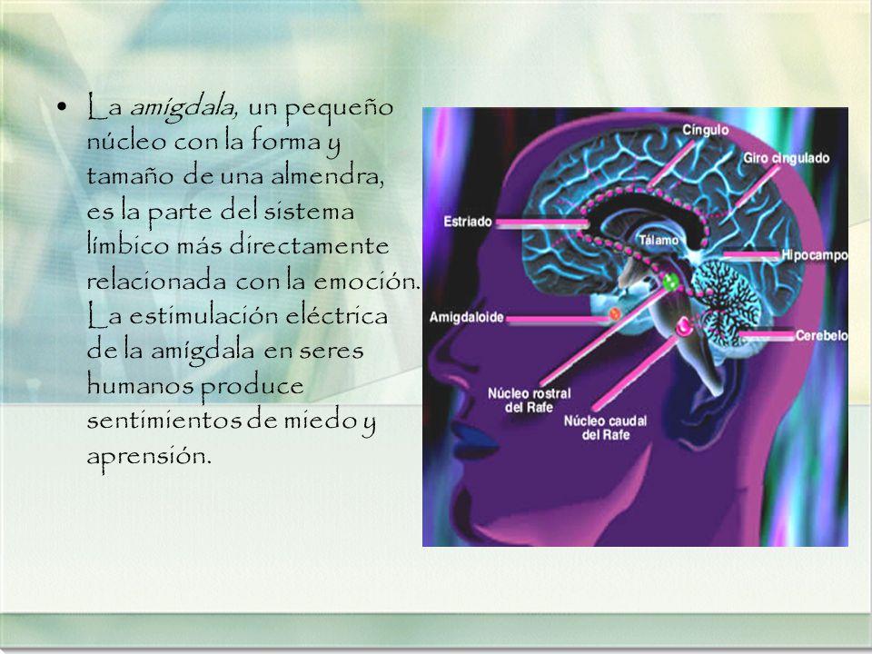 La amígdala, un pequeño núcleo con la forma y tamaño de una almendra, es la parte del sistema límbico más directamente relacionada con la emoción.
