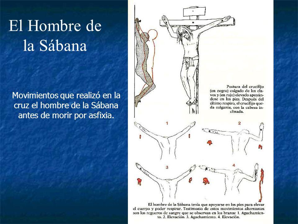 El Hombre de la Sábana Movimientos que realizó en la cruz el hombre de la Sábana antes de morir por asfixia.