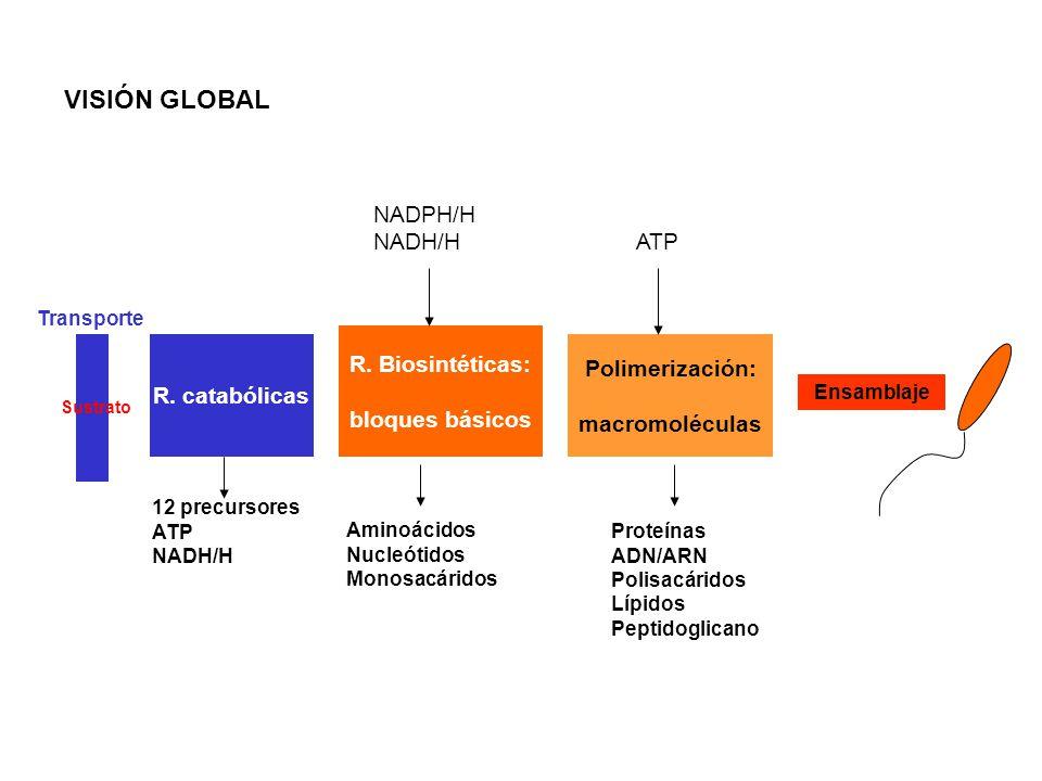 VISIÓN GLOBAL NADPH/H NADH/H ATP R. Biosintéticas: Polimerización: