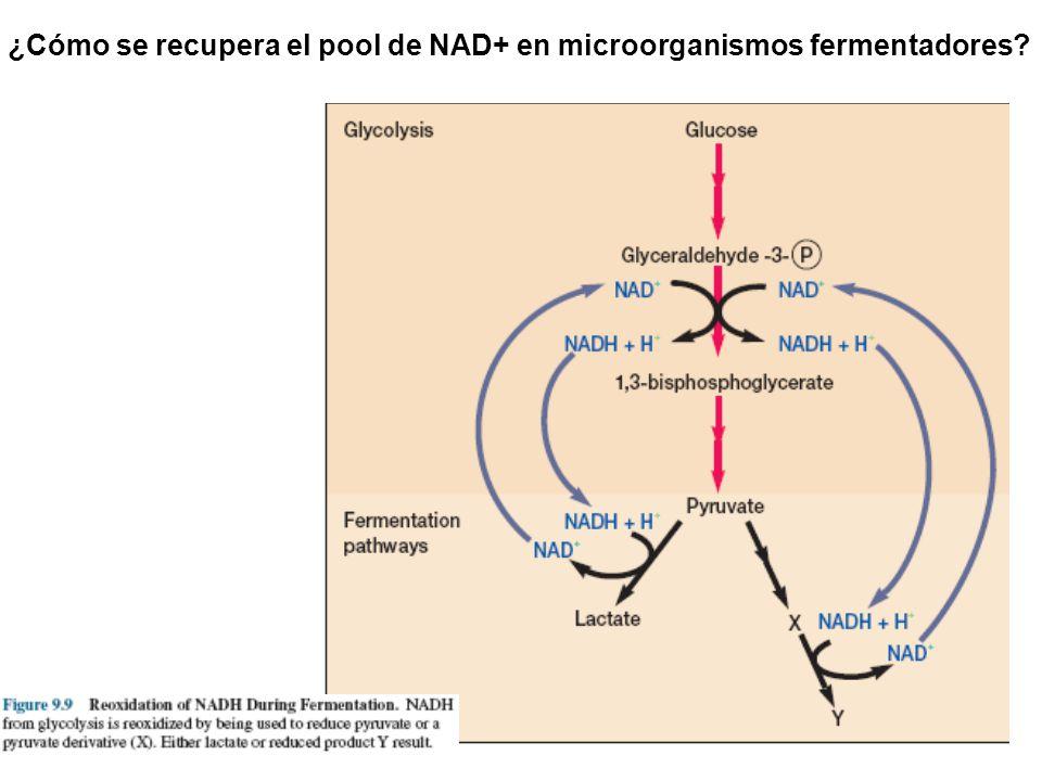¿Cómo se recupera el pool de NAD+ en microorganismos fermentadores