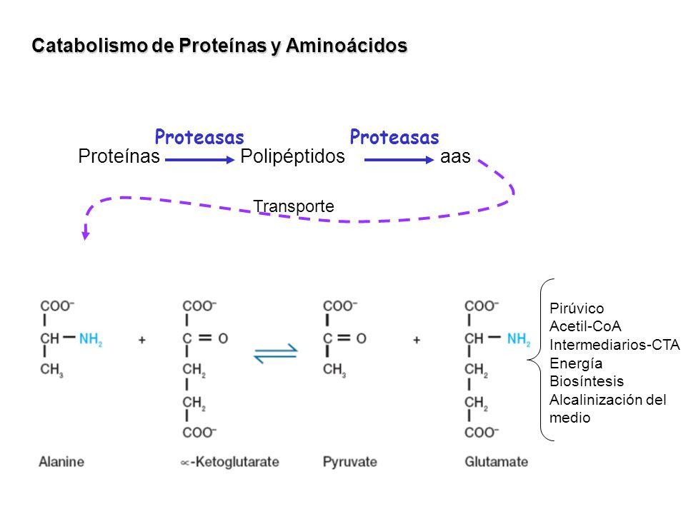 Catabolismo de Proteínas y Aminoácidos