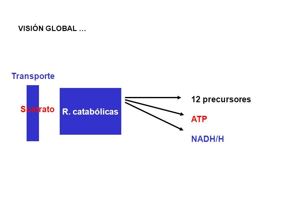 R. catabólicas 12 precursores ATP NADH/H Sustrato Transporte