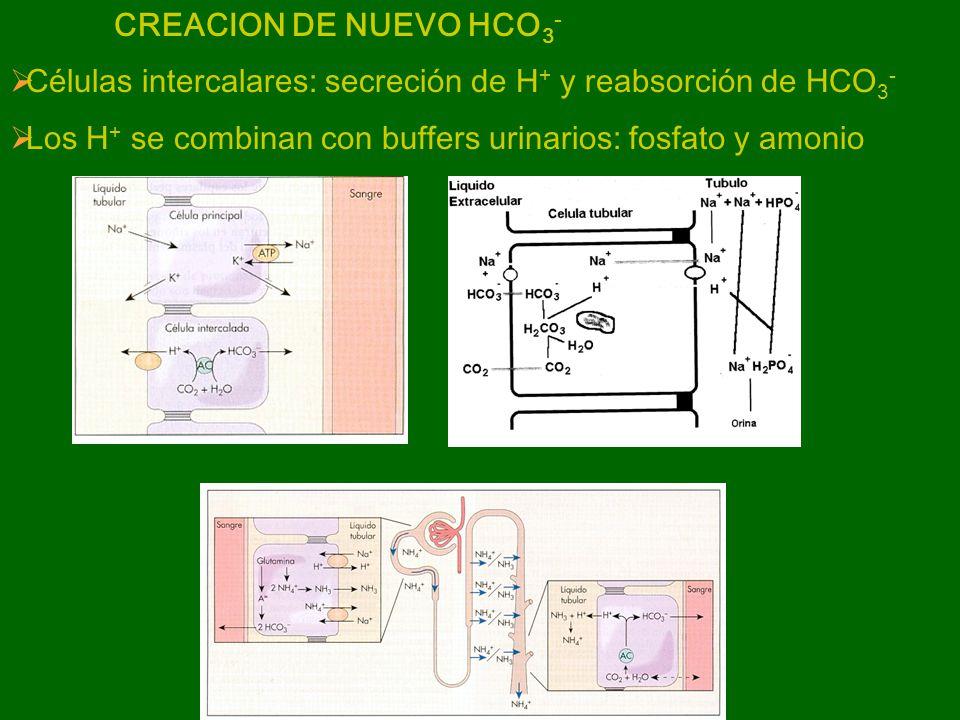 CREACION DE NUEVO HCO3- Células intercalares: secreción de H+ y reabsorción de HCO3- Los H+ se combinan con buffers urinarios: fosfato y amonio.