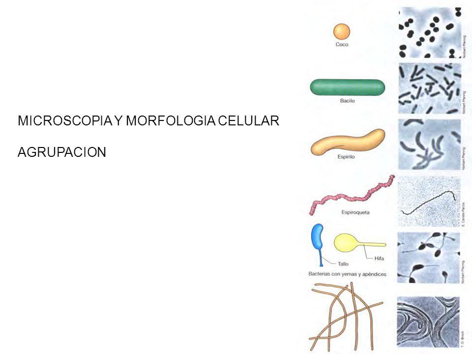 MICROSCOPIA Y MORFOLOGIA CELULAR