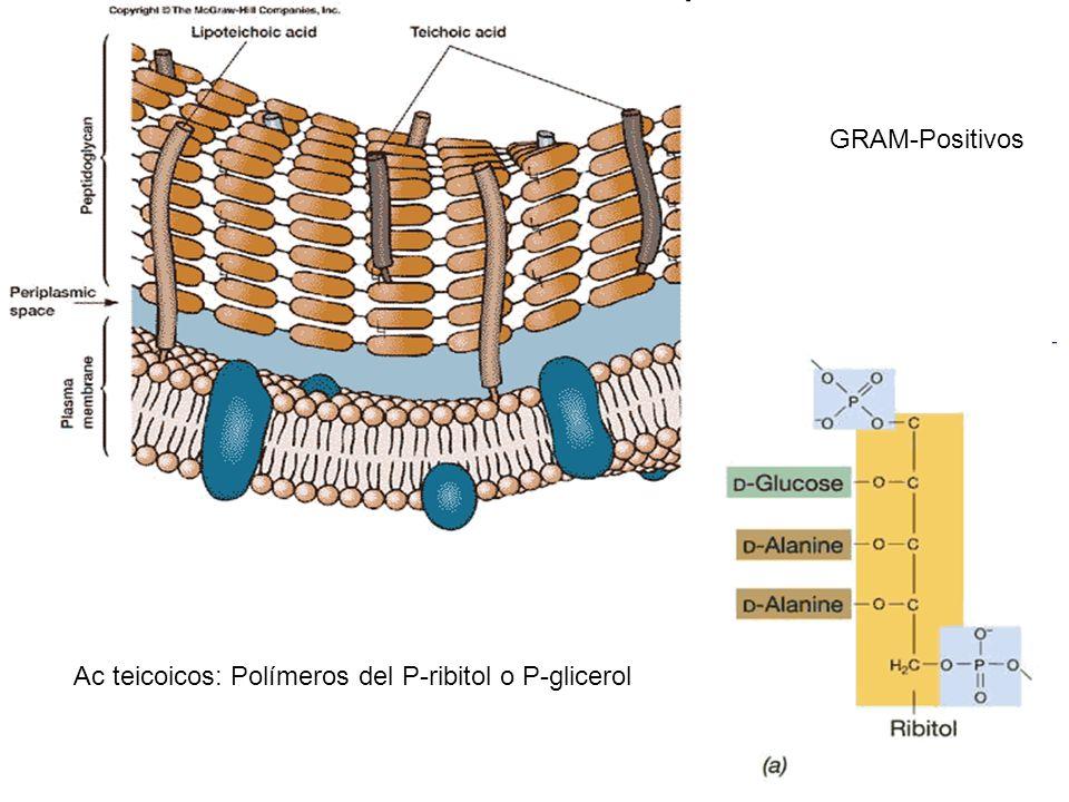 GRAM-Positivos Ac teicoicos: Polímeros del P-ribitol o P-glicerol