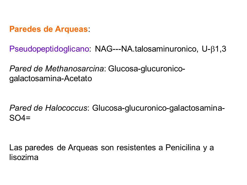 Paredes de Arqueas: Pseudopeptidoglicano: NAG---NA.talosaminuronico, U-1,3. Pared de Methanosarcina: Glucosa-glucuronico-galactosamina-Acetato.