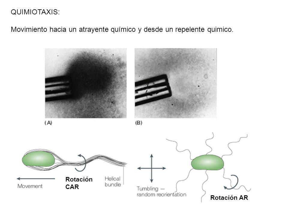 Movimiento hacia un atrayente químico y desde un repelente quimico.